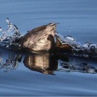 手賀沼 ハジロカイツブリ 潜水
