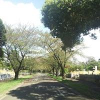 多摩霊園の桜