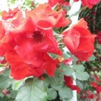 智光山公園のバラ