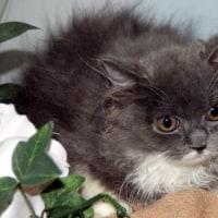 ペットショップ子猫/スコティッシュフォールド販売中/仙台市/東松島市/美里町