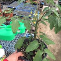 トマト テスト栽培