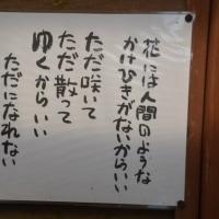 松田の桜と梅と菜花