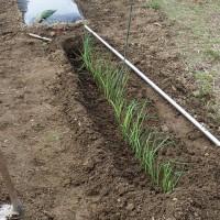 葱3種の植え付け。