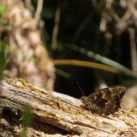 山の蝶、ヤマキマダラヒカゲ