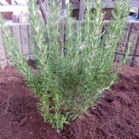 庭にハーブを植えました