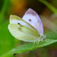 葉の上で羽根を休めるモンシロチョウ