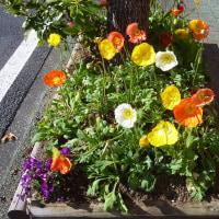 街路樹の花壇のヒナゲシ他です