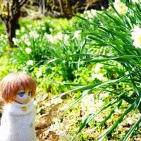 水仙の季節