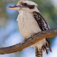 笑い カワセミ Laughing Kookaburra