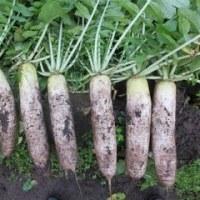 野菜畑のこと39