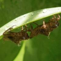 トンボの集団羽化。カナヘビの卵の孵化。