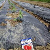 夏野菜植えつけ終了