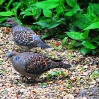 <キジバト(雉鳩)> 日本在来種、別名「ヤマバト」森から都市に進出