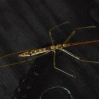 ● ヒゲナガサシガメ(幼虫) ・カメムシ目 サシガメ科