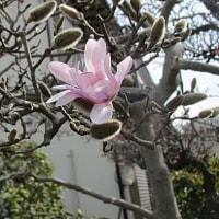 四手辛夷(してこぶし)の花