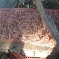 赤ひえの収穫