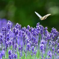 「優雅に舞う」 いわき 高野花見山にて撮影! ラベンダーとアゲハ蝶