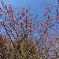 紅梅が咲き始めてます。