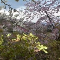 花見山公園 2017