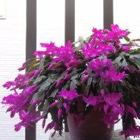 【徒然日記】 ベランダの花 シャコバサボテン