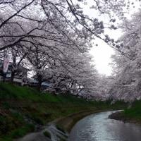 2017吉野瀬川の桜 その1