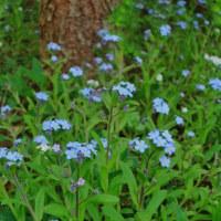 タンポポの花咲く頃