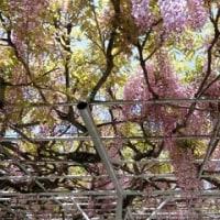 シータン、今年は満開の藤の花だよ