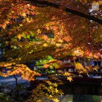 秋色鎌倉2016 鶴岡八幡宮 国宝館前がキレイ