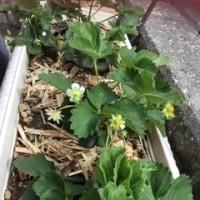 家庭菜園をずっと諦めていた菜園初心者様!今では市民農園借りて幸せの種蒔き✌️