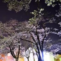 桜、もう散ってます、、、。