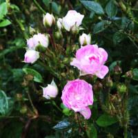 屋敷内の薔薇も咲き始め🌹