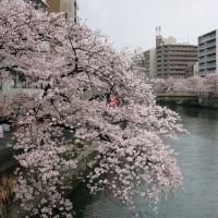 大岡川の桜 2017 その2