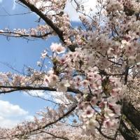 桜まだ咲いてましたね