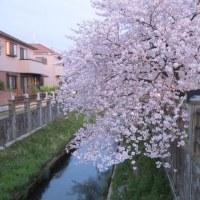真間川の桜 2017.04.10