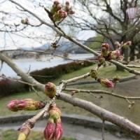 錦帯橋の桜情報