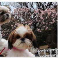 3わんで梅を見に行ったよ~(^^♪