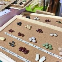 お豆の標本づくり・その2  お豆の名前を書いて貼る  BEANS  COLLECTION