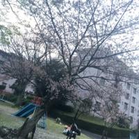 桜は散っても美しい、、、