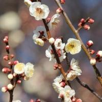 さいたま市大宮区大宮第二公園の梅園では、早咲きのウメが花を咲かせています