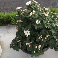 クッションマムは次々と開花しています(^o^)