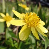 立山の背景も大気も寒いけれど、春の花を探しに走る。(3)