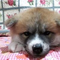 生後一ヶ月の秋田犬の👶赤ちゃんです(*^^*)