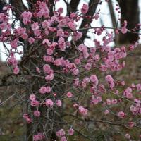大王わさび農場・・花祭り・・白い花