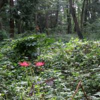 木漏れ日の森の彼岸花など