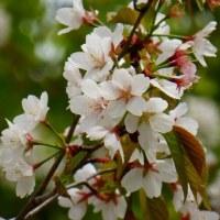 東山植物園の桜の回廊(5) ・・・ 名古屋市