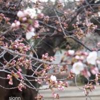星と桜・プラネタリウムに行きました。花織帯