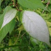 マタタビ葉の白化粧