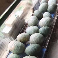 季節酵母パン『かぼちゃだらけ。』販売開始します。どうぞよろしくお願いいたします。