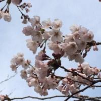 桜はやっぱり控えめでした♪さくらさくさくウォークラリー