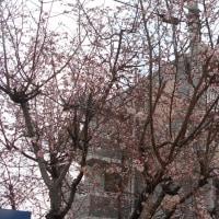ん? 冬桜? 十月桜?